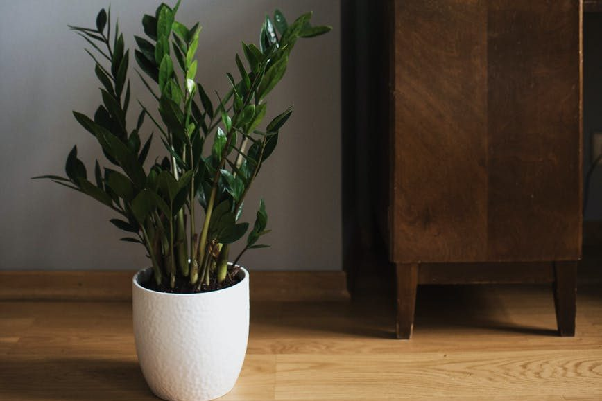 green zamioculcas on white pot